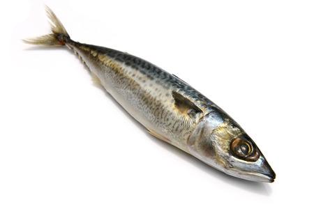 Closeup of Fresh fish Mackerel, tuna, saba, on a white background