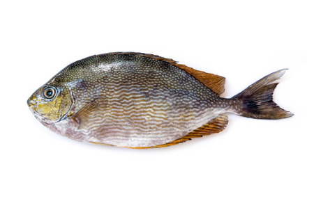 bluespotted: Close up Java rabbitfish, Bluespotted spinefish or Streaked spinefoot fish on a white background