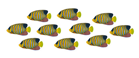 regal: Regal Angelfish original acrylic Painting isolated on white background