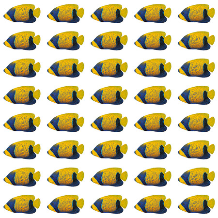 angelfish: Acrylic painting Blue-girdled Angelfish pattern isolated on white background