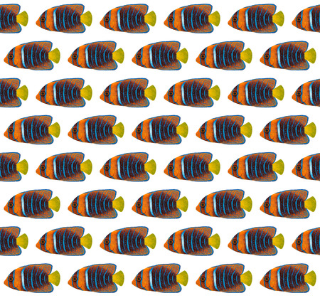 angelfish: Acrylic painting Passer Angelfish pattern isolated on white background