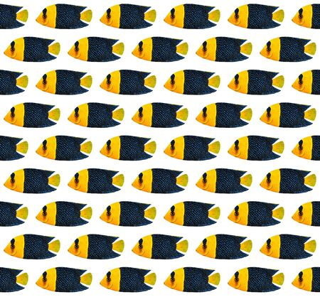 angelfish: Acrylic painting Bicolor Angelfish pattern isolated on white background Stock Photo
