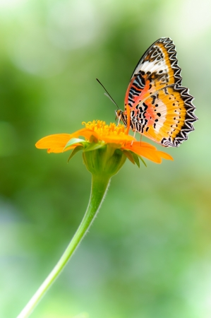beautyful Leopard Lacewing butterfly with orange color flower
