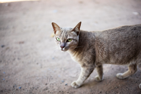 Closeup brown-eyed cat walking on the floor at home Stok Fotoğraf - 126358937
