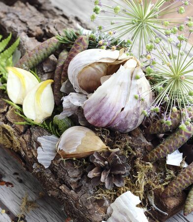 grown up: Close up of organically grown dried garlic cloves