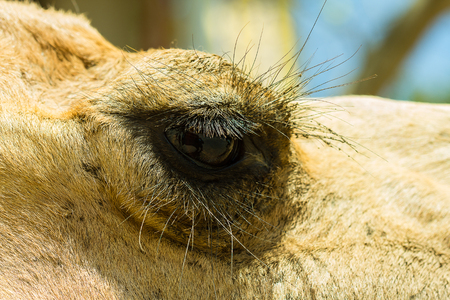 camello: Primer plano de los ojos de un camello