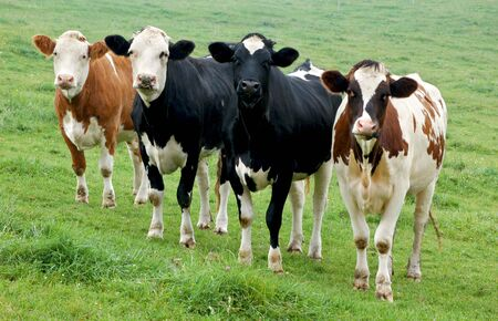 Four Cows in a Row Stock Photo - 5646410