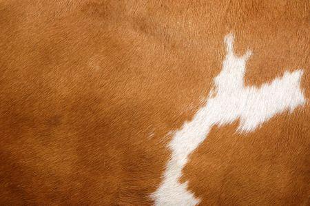 cuero vaca: Close up of un escudo de vaca marrón