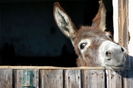 Cute Esel aussehen aus seinem Stall Standard-Bild - 5739628