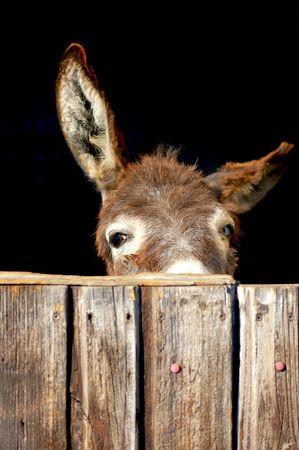 Shy Donkey look out of his Stable Stock Photo - 5739629
