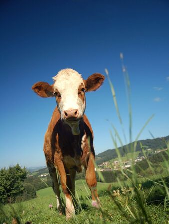 Curious brown Calf in an Austrian Landscape Stock Photo - 5753823