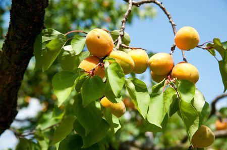 Fresh Apricots on a Ripe of a Tree photo