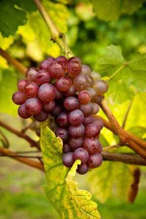 vine leaf: Fresh red grapes ready for harvest