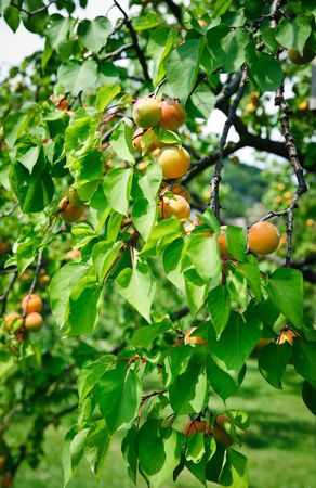 Tree full with ripe Apricots photo