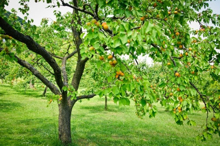 Tree full with Apricots in a Garden