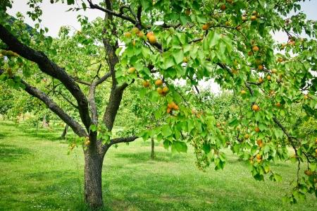 Arbre complet avec abricots dans un jardin