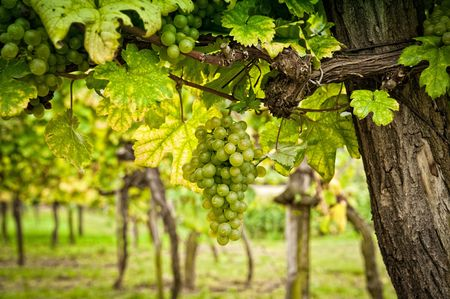 grape field: Vineyard with White Grapes, taken in Lower Austria Stock Photo