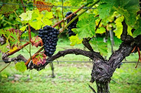 grape cluster: Vine with Red Grapes with Autumn Leaves