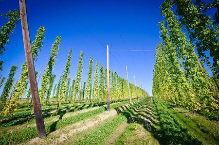 upper austria: Hop Field in Upper Austria Stock Photo