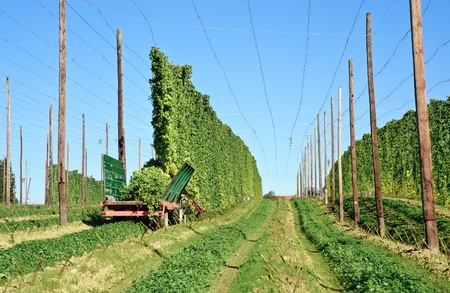 hopfield: Harvesting with a Tractor on a Hop Field