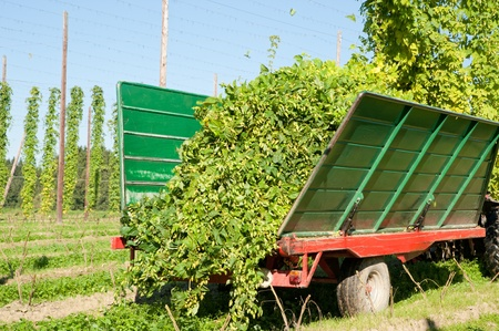 hopfield: Truck being loaded with Hops at harvest time Stock Photo