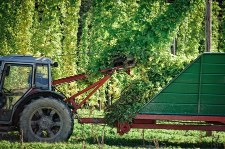 hopfield: Truck being loaded with Hops in autumn