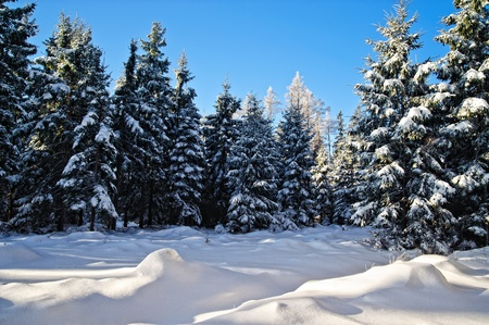 frost covered: Winter Forest in Upper Austria with blue Sky