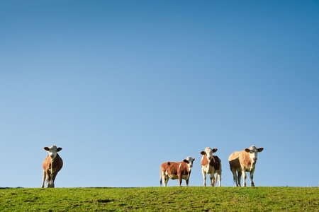 Four Cows standing on the Meadow with Clear Sky Stock Photo