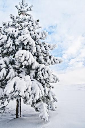 abetos: �nico pino cubierto de nieve, con algunas nubes