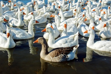 Group of swimming white geese with one brown Stock Photo - 9551190