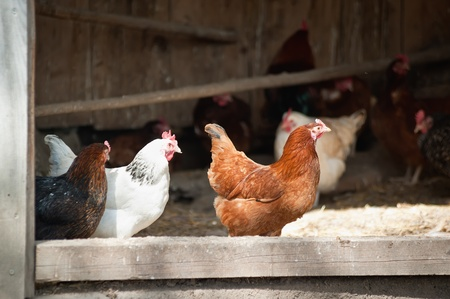 chickens Banque d'images