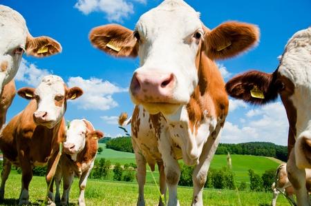 cattle: Vacas de cerca en una granja