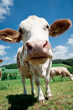 Close to a simmental cow in upper austria  Stock Photo