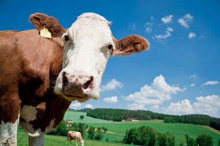 Nosy Cow looking at the Camera, taken in Upper Austria Stock Photo