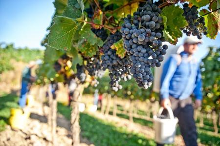 Arbeiter in einem Weinberg in der Wachau, Niederösterreich Österreich Standard-Bild - 11281529