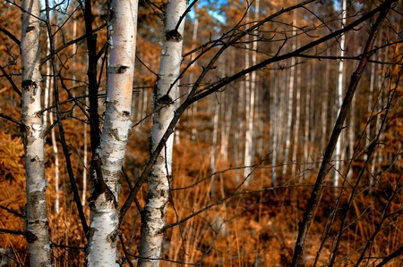 birch forest: Indian Summer Stock Photo