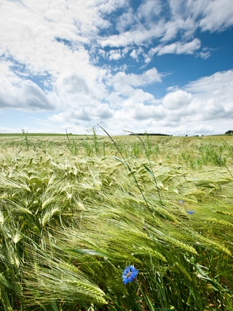 Cloudscape over a fresh cornfield in spring Stock Photo - 12931491