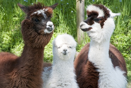 herd: Three different alpacas colored brown and white Stock Photo