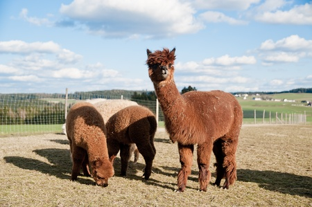 Group of brown alpacas standing in a field photo