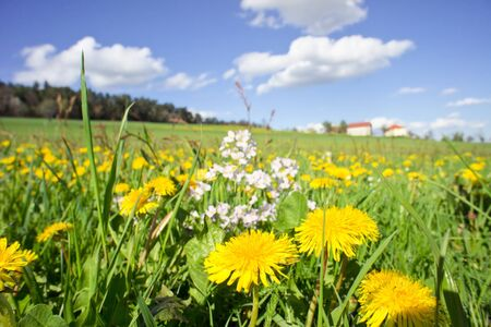 Rural meadow with dandelions and farmhouse in the background photo