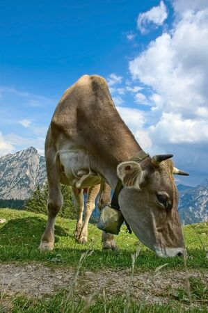 Grazing Cow in the austrian Alps photo