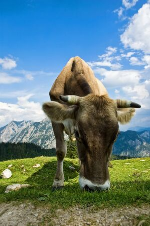Swiss Cattle in the Alps photo