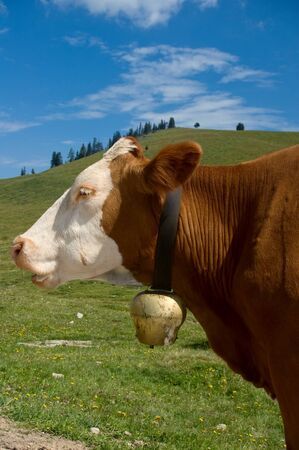 profil: Profil of a Simmental Cow with Bell
