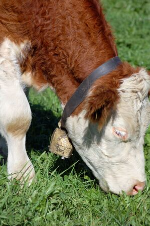 Grazing Simmental Cow with cow bell photo