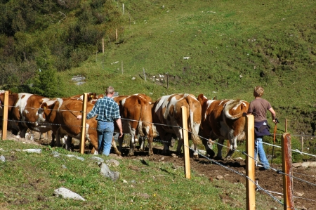 Herding Cows Stock Photo - 17210739