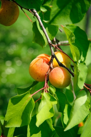 Branch with some ripe Apricots, vignette added photo