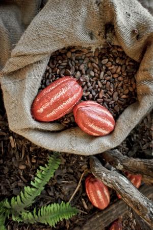 cacao beans: Granos de cacao y frutos del cacao