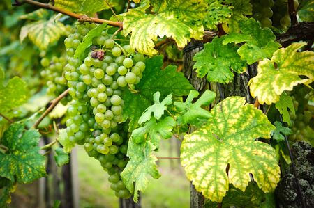 grape field: White Grapes on a Branch Stock Photo