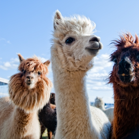 Three Funny Alpacas in different colors Stock Photo