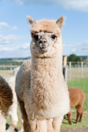 Fluffy junge Alpaca Standard-Bild - 17284833